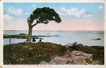 The Famous Pair Tree, Peaks Island Me.